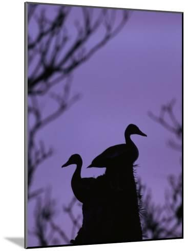 Pair of Wild Ducks in Silhouette, Costa Rica-Steve Winter-Mounted Photographic Print