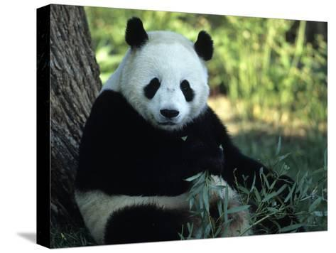 A Giant Panda Eating Bamboo, National Zoo, Washington D.C.-Taylor S^ Kennedy-Stretched Canvas Print