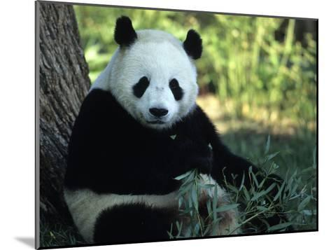 A Giant Panda Eating Bamboo, National Zoo, Washington D.C.-Taylor S^ Kennedy-Mounted Photographic Print