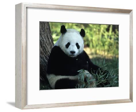 A Giant Panda Eating Bamboo, National Zoo, Washington D.C.-Taylor S^ Kennedy-Framed Art Print