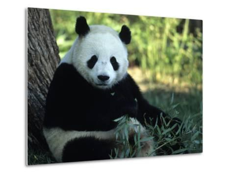 A Giant Panda Eating Bamboo, National Zoo, Washington D.C.-Taylor S^ Kennedy-Metal Print