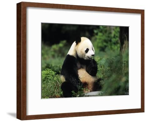 A Giant Panda Smelling a Flower, National Zoo, Washington D.C.-Taylor S^ Kennedy-Framed Art Print