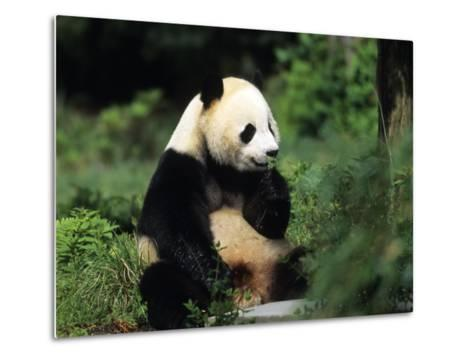 A Giant Panda Smelling a Flower, National Zoo, Washington D.C.-Taylor S^ Kennedy-Metal Print