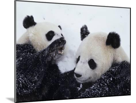 Pandas at the National Zoo in Washington, DC-Taylor S^ Kennedy-Mounted Photographic Print