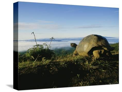 Giant Galapagos Tortoise near the Rim of the Alcedo Volcano, Galapagos Islands-Sam Abell-Stretched Canvas Print