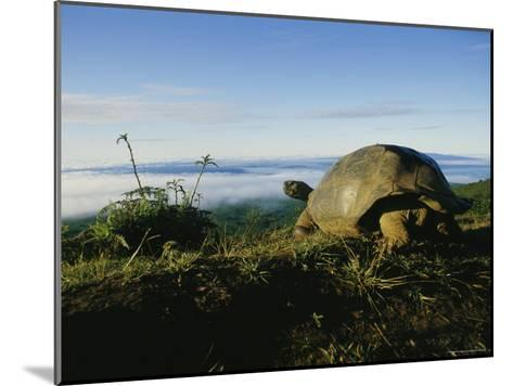 Giant Galapagos Tortoise near the Rim of the Alcedo Volcano, Galapagos Islands-Sam Abell-Mounted Photographic Print