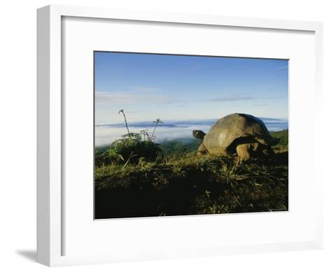 Giant Galapagos Tortoise near the Rim of the Alcedo Volcano, Galapagos Islands-Sam Abell-Framed Art Print