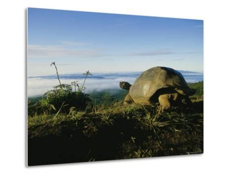 Giant Galapagos Tortoise near the Rim of the Alcedo Volcano, Galapagos Islands-Sam Abell-Metal Print