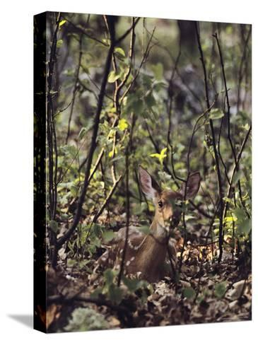 Whitetail Fawn Hides from Predators, Shenandoah National Park, Virginia-Sam Abell-Stretched Canvas Print