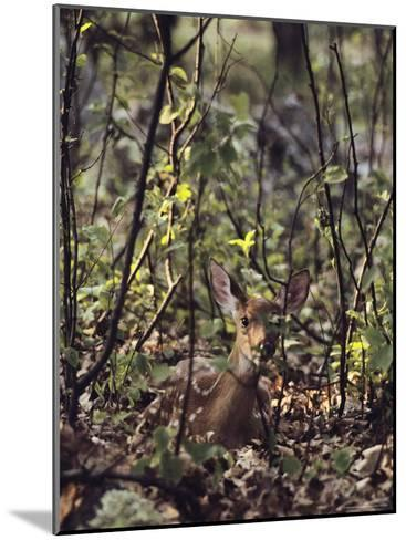 Whitetail Fawn Hides from Predators, Shenandoah National Park, Virginia-Sam Abell-Mounted Photographic Print