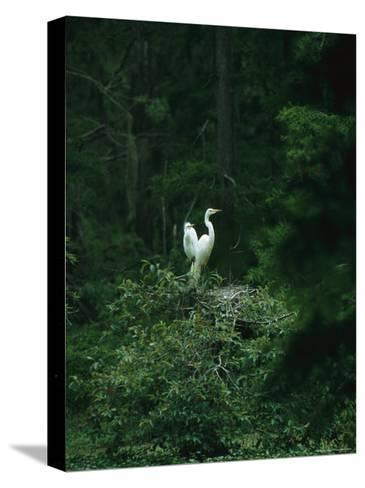 A Pair of Snowy Egrets Sit on a Nest in a Swamp in Georgia-Taylor S^ Kennedy-Stretched Canvas Print