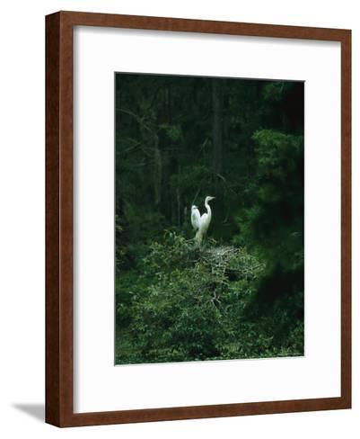 A Pair of Snowy Egrets Sit on a Nest in a Swamp in Georgia-Taylor S^ Kennedy-Framed Art Print