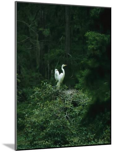 A Pair of Snowy Egrets Sit on a Nest in a Swamp in Georgia-Taylor S^ Kennedy-Mounted Photographic Print