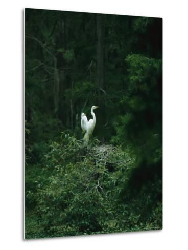 A Pair of Snowy Egrets Sit on a Nest in a Swamp in Georgia-Taylor S^ Kennedy-Metal Print