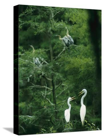A Pair of Egrets and a Pair of Anhingas Sit on Tree Branches-Taylor S^ Kennedy-Stretched Canvas Print