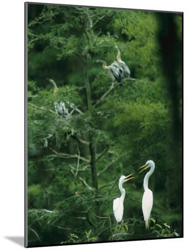 A Pair of Egrets and a Pair of Anhingas Sit on Tree Branches-Taylor S^ Kennedy-Mounted Photographic Print