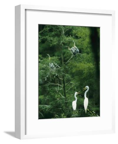 A Pair of Egrets and a Pair of Anhingas Sit on Tree Branches-Taylor S^ Kennedy-Framed Art Print