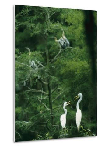 A Pair of Egrets and a Pair of Anhingas Sit on Tree Branches-Taylor S^ Kennedy-Metal Print