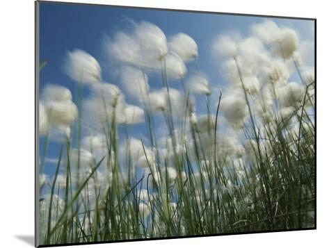 Aging Dandilions near Firth River, Ivvavik National Park, Yukon Territory, Canada-Michael Melford-Mounted Photographic Print