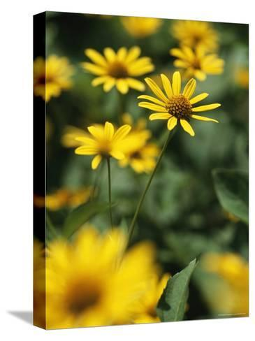 An Individual Daisy Stands Isolated in a Field of Summer Flowers-Taylor S^ Kennedy-Stretched Canvas Print