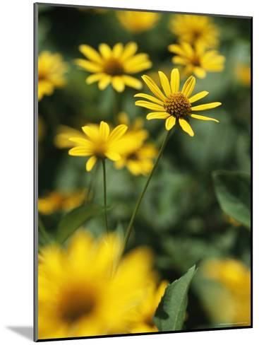 An Individual Daisy Stands Isolated in a Field of Summer Flowers-Taylor S^ Kennedy-Mounted Photographic Print