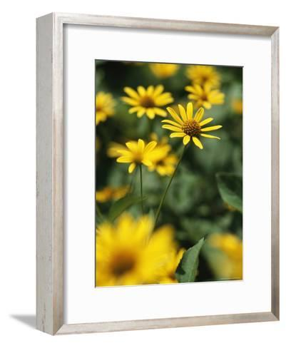 An Individual Daisy Stands Isolated in a Field of Summer Flowers-Taylor S^ Kennedy-Framed Art Print