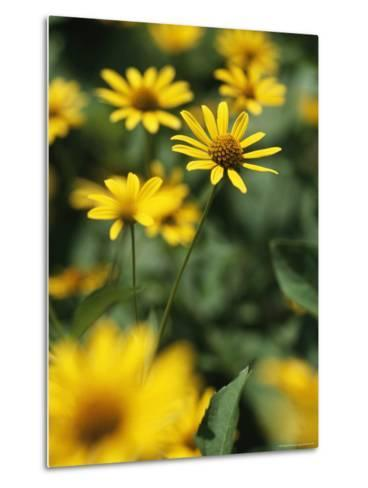 An Individual Daisy Stands Isolated in a Field of Summer Flowers-Taylor S^ Kennedy-Metal Print