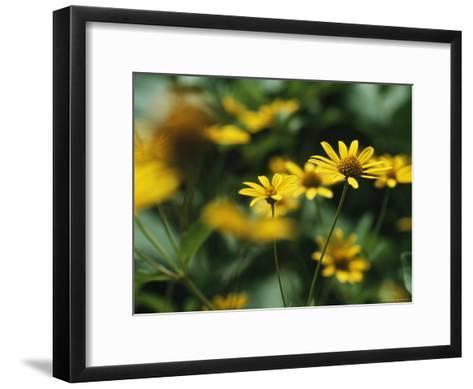 Daisies-Taylor S^ Kennedy-Framed Art Print