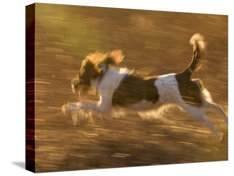 An English Springer Spaniel Runs Through a Field-Joel Sartore-Stretched Canvas Print