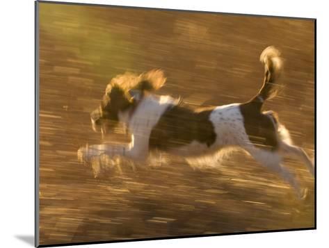 An English Springer Spaniel Runs Through a Field-Joel Sartore-Mounted Photographic Print