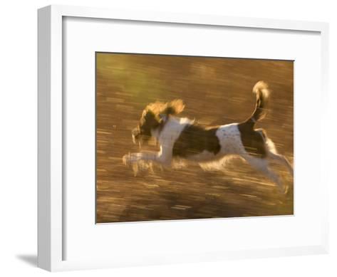 An English Springer Spaniel Runs Through a Field-Joel Sartore-Framed Art Print