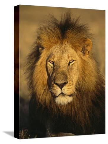 A Portrait of a Male African Lion Sitting in the Sun--Stretched Canvas Print