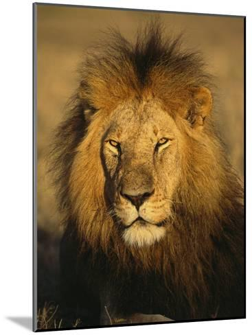 A Portrait of a Male African Lion Sitting in the Sun--Mounted Photographic Print