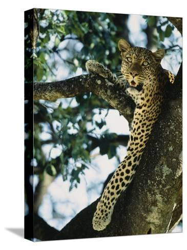 Close View of Leopard in Tree--Stretched Canvas Print
