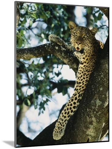 Close View of Leopard in Tree--Mounted Photographic Print