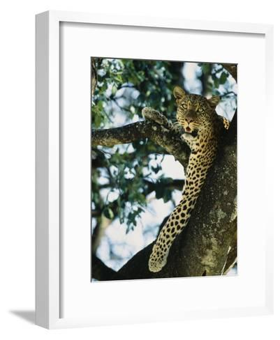 Close View of Leopard in Tree--Framed Art Print