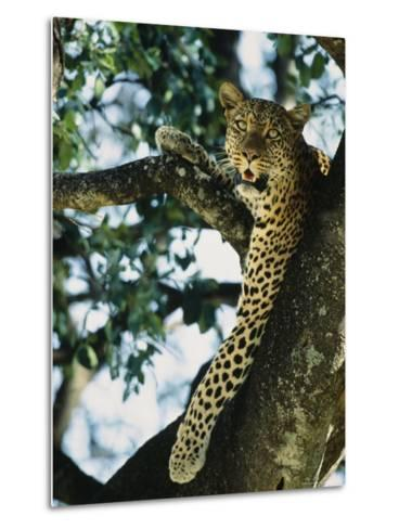 Close View of Leopard in Tree--Metal Print