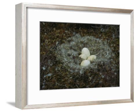 Four Goose Eggs Lie in a Down-Lined Nest-Norbert Rosing-Framed Art Print