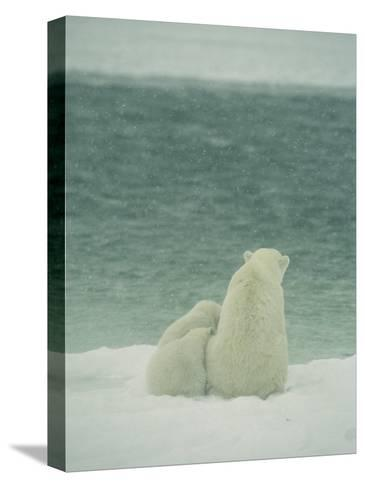 A Polar Bear and Her Cubs Sit Near Waters Edge-Norbert Rosing-Stretched Canvas Print