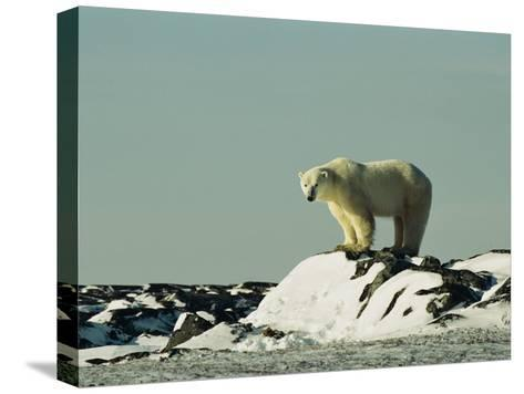 A Polar Bear Stands Atop a Snow-Covered Rock-Norbert Rosing-Stretched Canvas Print