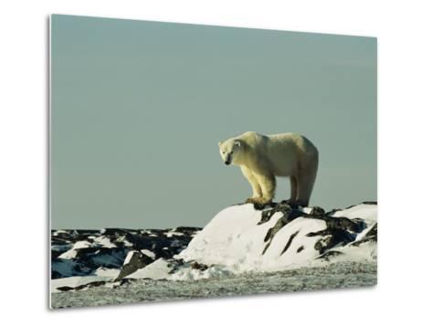 A Polar Bear Stands Atop a Snow-Covered Rock-Norbert Rosing-Metal Print