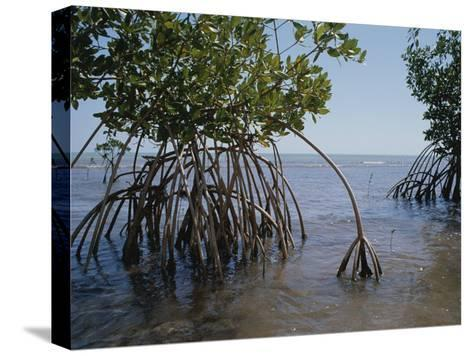 Root Legs of Red Mangroves Extend into Biscayne Bay-Medford Taylor-Stretched Canvas Print