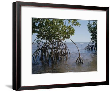 Root Legs of Red Mangroves Extend into Biscayne Bay-Medford Taylor-Framed Art Print