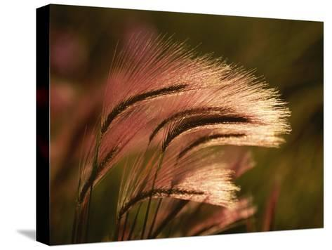 Foxtail Grass in Sunlight--Stretched Canvas Print