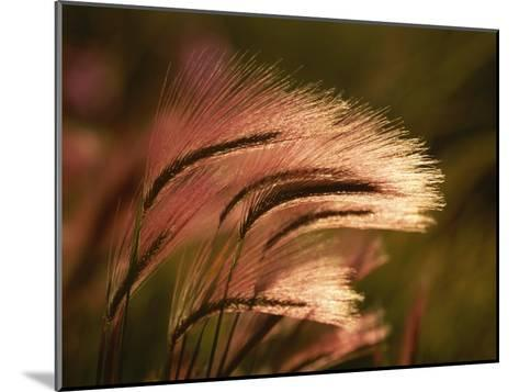 Foxtail Grass in Sunlight--Mounted Photographic Print