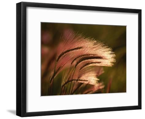 Foxtail Grass in Sunlight--Framed Art Print