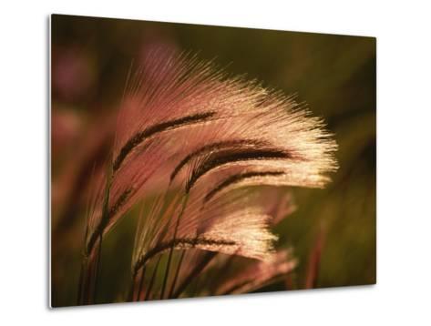 Foxtail Grass in Sunlight--Metal Print