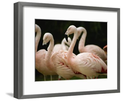 A Flock of Chilean Flamingos-Joel Sartore-Framed Art Print