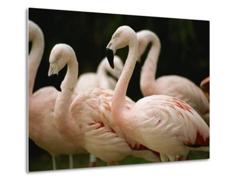 A Flock of Chilean Flamingos-Joel Sartore-Metal Print