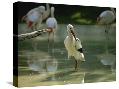 A European White Stork Wades with Chilean Flamingos in Shallow Pool-Joel Sartore-Stretched Canvas Print